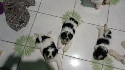Filhotes de shih tzu com poodle