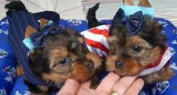 Yorkshire Terrier Macho Baby Face Parcelamos em 12x no Cartão