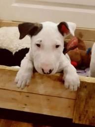 Filhotes de Bull Terrier Inglês, machos e fêmeas disponíveis
