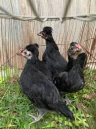 Pintinhos de galinha polonesa