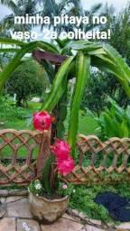 Mudas de pitaya colombiana polpa vermelha