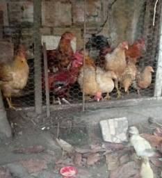 Vendo um lote com 9 aves frangos e Galinhas e franguinhos