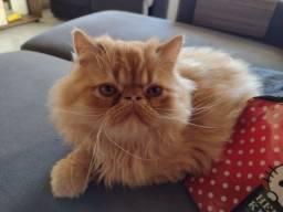 Gato Persa Padrão Show