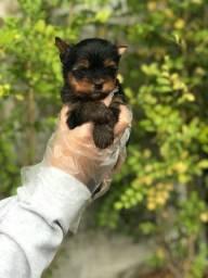 Yorkshire Terrier em 12x sem juros com vacina e equipe veterinária