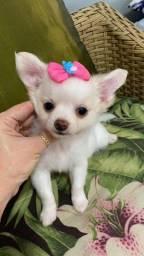 Chihuahua pelo longo- fêmea