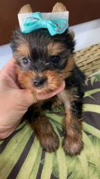 Yorkshire micro - terrier