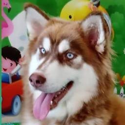 Husky wooly Red