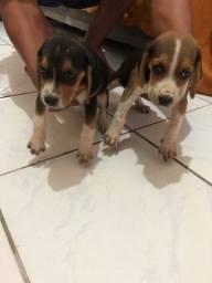 Venda de Beagle