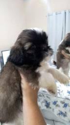 Título do anúncio: Cachorrinhos Lhasa apso