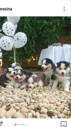 Filhotes de husky siberiano disponível - **