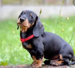 Filhote de dachshund lindos
