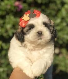 Shih Tzu a mais linda filhote Canil Recanto Ribeiros