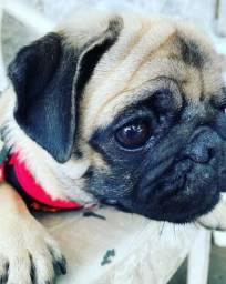 Cachorra fêmea Pug