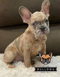 Bulldog francês Lilac Fawn Merle