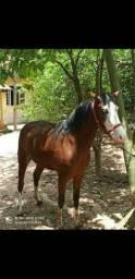Egua paint horse