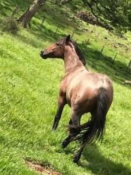 Cavalo Crioulo com registro