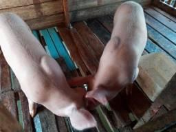 Vendo porcas de raça
