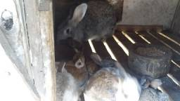Título do anúncio: Vendo coelhos gigante de flande