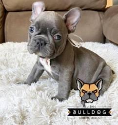 Bulldog frances cinza femea