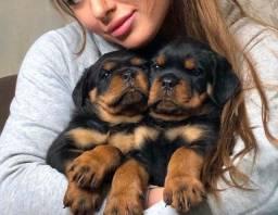 Filhotes de Rottweiler belos