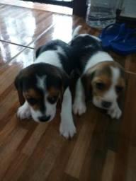 Lindos filhotes de beagle 13 polegadas