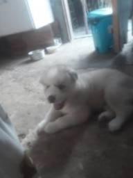 Vendo uma cachorra da raça husky siberiano