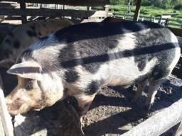 Vendo Porco Inteiro - torno de 400 kilos em balneario piçarras