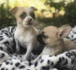 Chihuahua macho com valor promocional