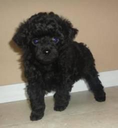 Poodle micro Toy preto. Raça pura  tel. *