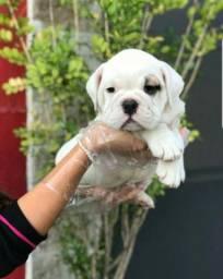 Bulldog Inglês temos 11 clinicas para atender o seu filhote, 6 meses gratuito!!