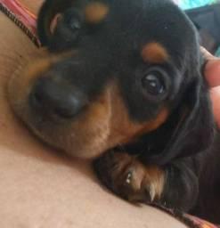 Cachorro salsichinha