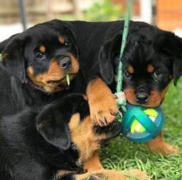 Belos Filhotes de Rottweiler
