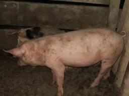 Lindos porcos