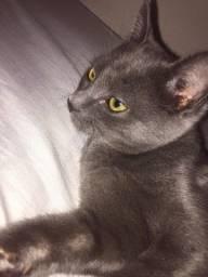 gato cinza filhote