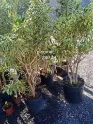 Planta pleumeli