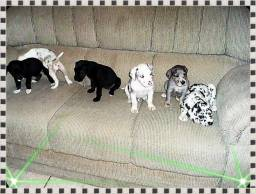 Cães da raça Dogue alemão