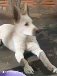 Lindo cachorro macho,6 meses pastor suíço