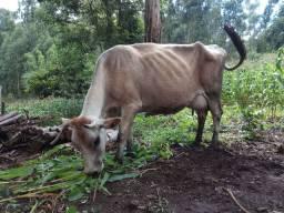 Vaca gersey leiteira