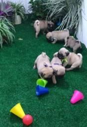 Pug filhotes de procedência com pedigree CBKC