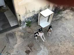 Cachorro paulistinha