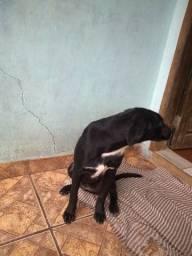Doacão Cachorra Labradora Filhote