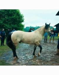Cavalo Crioulo Inteiro baio cabos negros