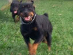 CanilCityPet filhotinhos de Rottweiler padrão Cabeção já prontos