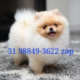 Canil Filhotes Cães Alto Padrão BH Spitz Alemão Shihtzu Maltês Yorkshire Lhasa Bulldog