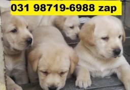Canil Maravilhosos Filhotes Cães BH Labrador Golden Pastor Akita Rottweiler