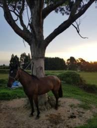 Vendo égua crioula 3 anos muito mansa e boa