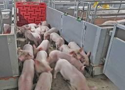 Porcos pequenos...