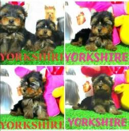 Yorkshire Disponíveis (Whats:(86)9 9456-4615)