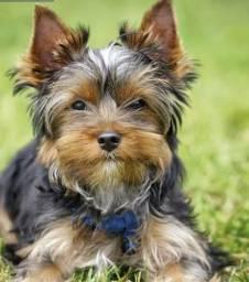 Namorada - Yorkshire Terrier