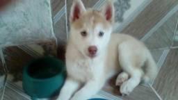 Vendo ou troco Husky siberiano